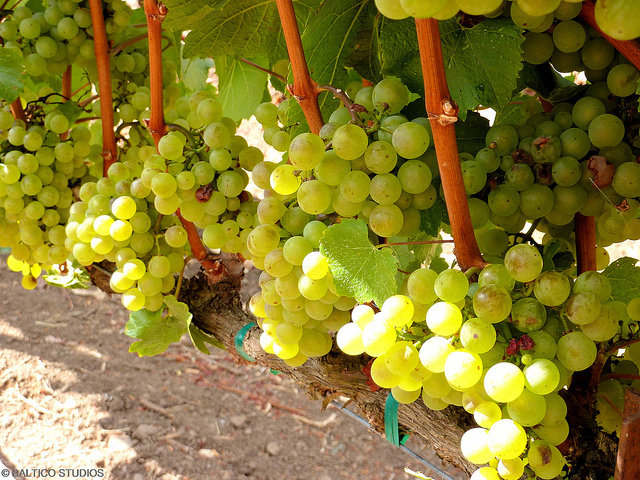 American wines, Chardonnay grapes in Sonoma Valley, California