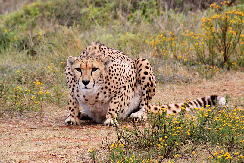 Photography Safari: Cheetah, found across most of Africa
