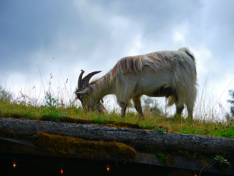 Goat on a roof, Coombs Country Market.