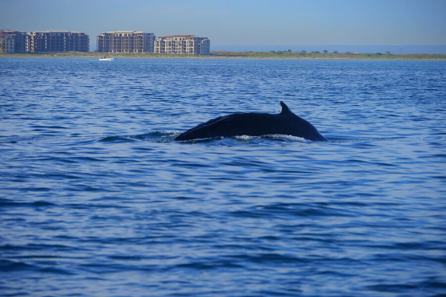 Whales are found year round in the Bay of La Paz