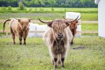 Highland cows at Le Germain Charlevoix, Quebec, Canada